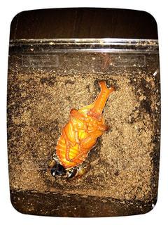 アトラスオオカブトの蛹の写真・画像素材[1202811]