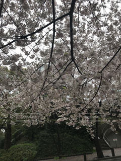 桜満開!の写真・画像素材[1202891]
