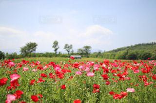 フィールドに赤い花の写真・画像素材[1205707]
