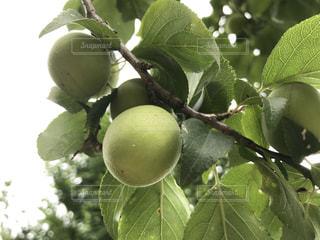 近くの木の枝にぶら下がっている果実の写真・画像素材[1315547]