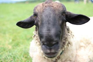 近くにカメラを見て羊のアップの写真・画像素材[1321509]