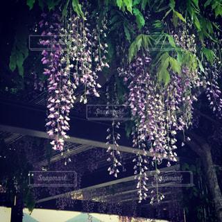 藤の花の写真・画像素材[1203234]