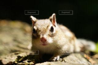 リスのクローズアップの写真・画像素材[3300999]