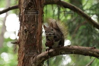 木の枝の上のリスの写真・画像素材[3363655]