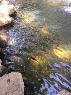 ニジマス釣り堀の写真・画像素材[1213229]