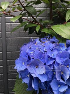 紫の紫陽花の写真・画像素材[1229457]