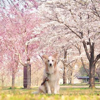 桜と犬の写真・画像素材[1204261]