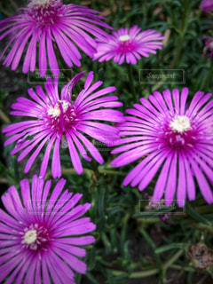 ピンクの花の写真・画像素材[1210183]