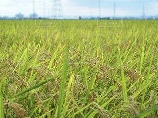 実った稲の写真・画像素材[3677995]