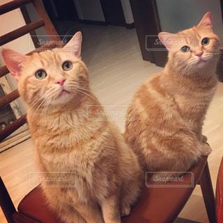 テーブルの上に座って猫の写真・画像素材[1206797]