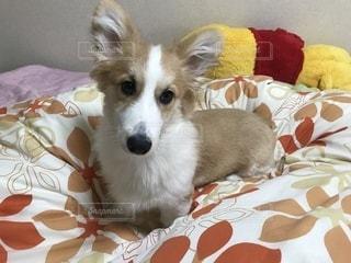 ベッドの上の犬の写真・画像素材[1206932]
