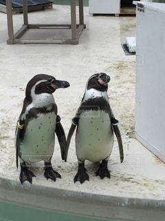 雪の中のペンギンの写真・画像素材[1212073]