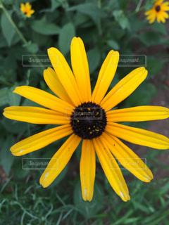 黄色の花の写真・画像素材[1220681]