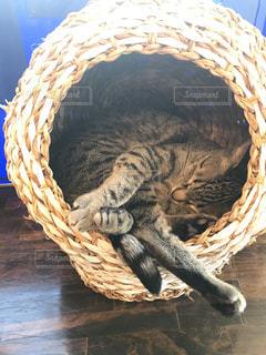 丸まっておやすみ猫の写真・画像素材[1207047]