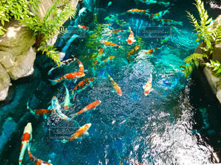 鯉の写真・画像素材[1238410]