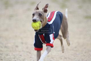 フリスビーをキャッチする犬ジャンプの写真・画像素材[1253747]