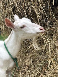 草を食べる可愛いヤギの写真・画像素材[2673116]