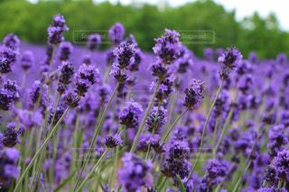 植物の紫色の花の写真・画像素材[2705597]