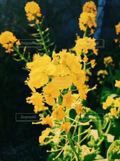 菜の花の写真・画像素材[1209377]