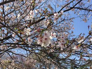 桜の写真・画像素材[1209708]