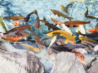 鯉の写真・画像素材[1208422]