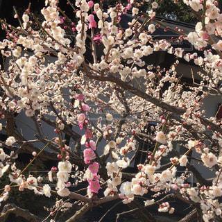 紅白の梅の花の写真・画像素材[1208214]