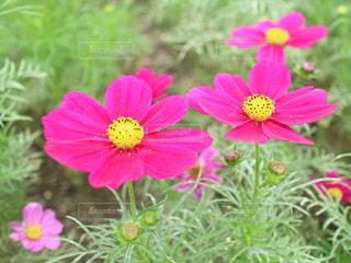 コスモスの花が咲く◎の写真・画像素材[1209839]