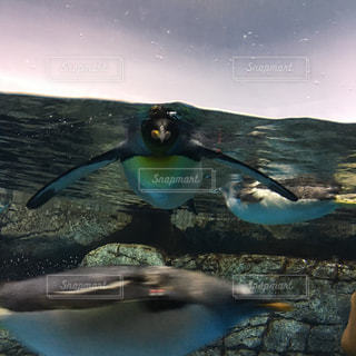 水の中のペンギンの写真・画像素材[1210289]