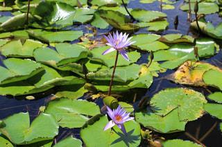 池に咲く蓮の花の写真・画像素材[1211094]