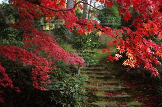 京都の紅葉の写真・画像素材[1504707]
