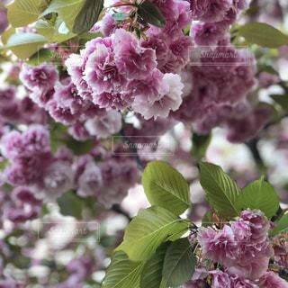 桜🌸🇯🇵の写真・画像素材[1211814]