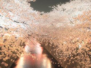 幻想的な桜の写真・画像素材[1212623]