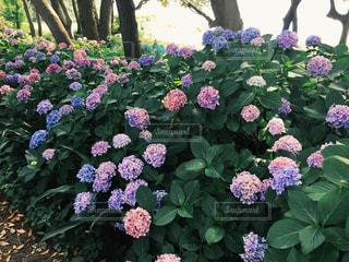 大きな紫色の花の写真・画像素材[1213223]