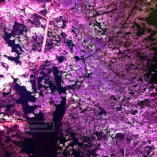 夜桜の写真・画像素材[1220246]