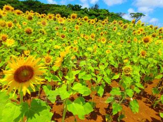 宮古島のひまわり畑の写真・画像素材[1220253]