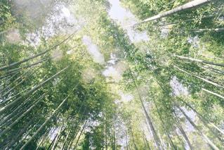 新緑の竹林の写真・画像素材[1226638]