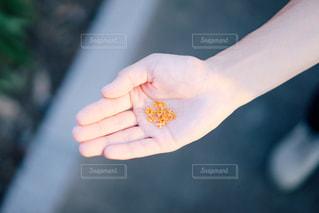 手のひらに金木犀の写真・画像素材[1517652]