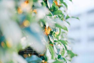 金木犀の写真・画像素材[1517654]