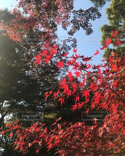 秋の空ともみじの写真・画像素材[2417089]