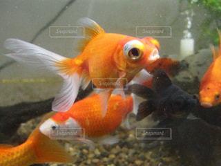 金魚混泳水槽の写真・画像素材[1223106]