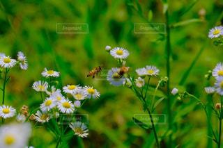 蜜蜂とヒメジョオンの写真・画像素材[1266615]