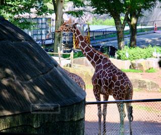多摩動物公園のキリンの写真・画像素材[1276188]