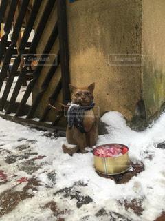雪の中の、番ねこの写真・画像素材[1215887]