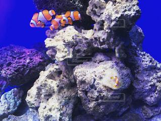 水中で並んで泳ぐカクレクマノミの写真・画像素材[1224139]