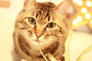 カメラを見ている猫の写真・画像素材[1213837]