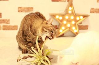 テーブルの上に座って猫の写真・画像素材[1213839]