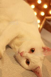 ごろんとする白猫の写真・画像素材[1213841]