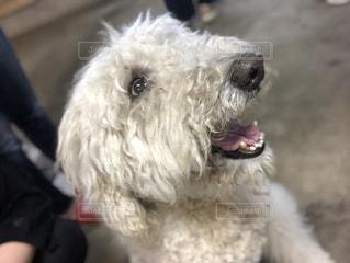 カメラを見て小さな白い犬の写真・画像素材[1225242]