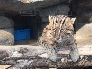 岩の上に座っている猫の写真・画像素材[1214703]