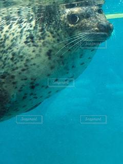 水で泳ぐアザラシの写真・画像素材[1214784]